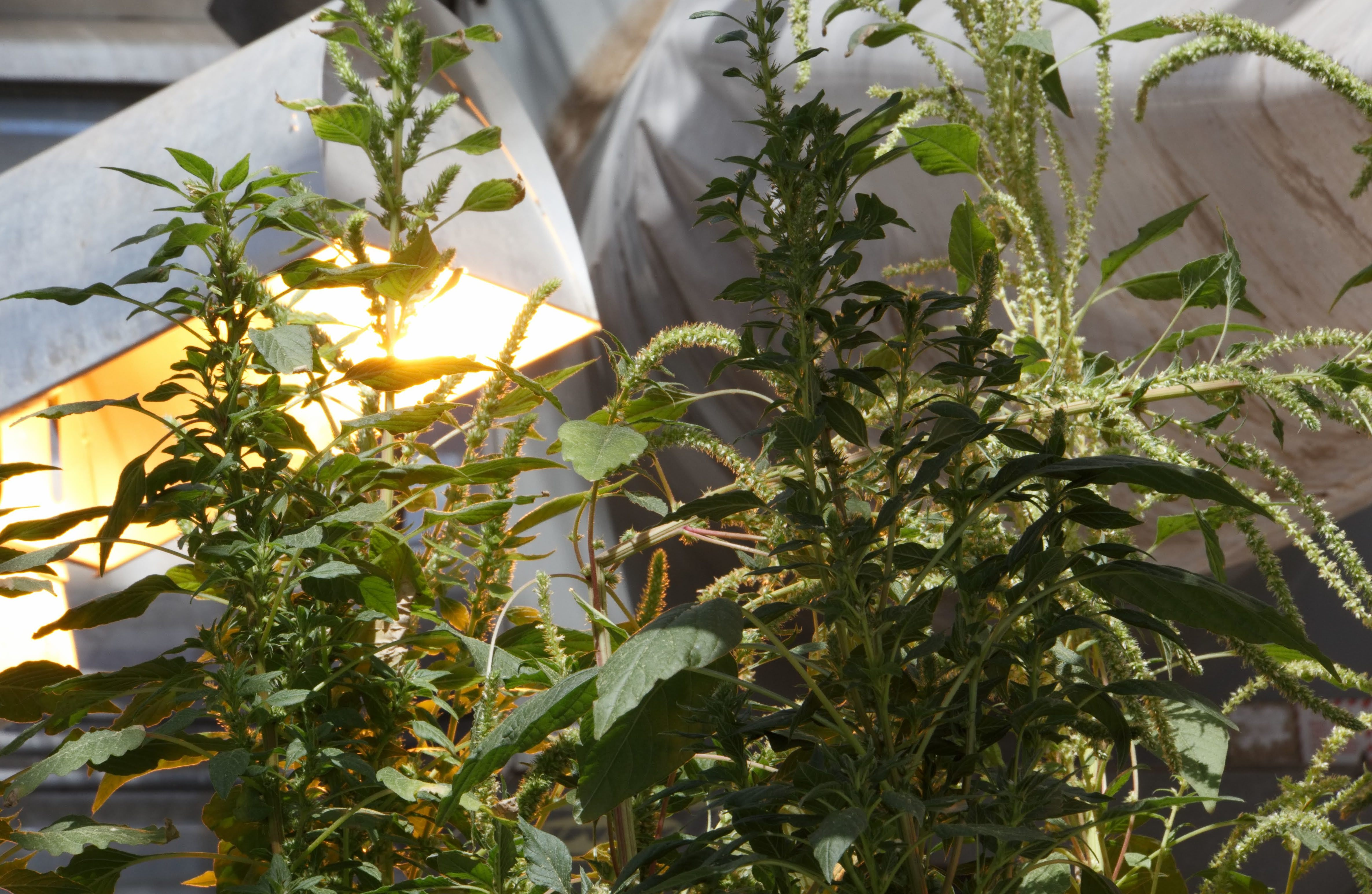 These Palmer amaranth — or pigweed — plants, seen growing in a greenhouse at Kansas State University, appear to be resistant to multiple herbicides. (Dan Charles/NPR)