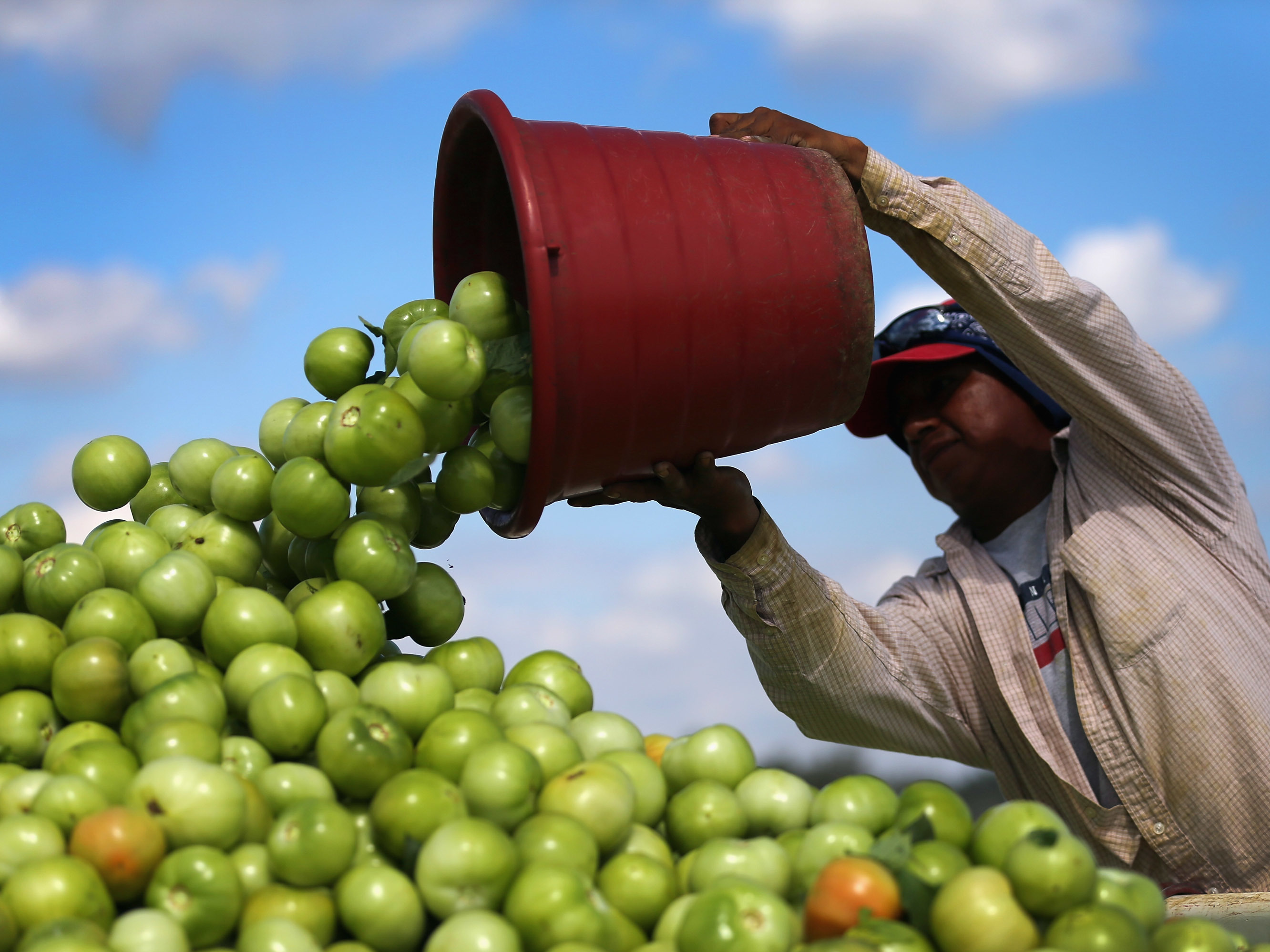 A worker dumps a bucket of tomatoes into a trailer at DiMare Farms in Florida City, Fla., in 2013. The Trump administration is preparing to level a new tariff on fresh tomatoes imported from Mexico in response to complaints from Florida growers. (Joe Raedle/Getty Images)