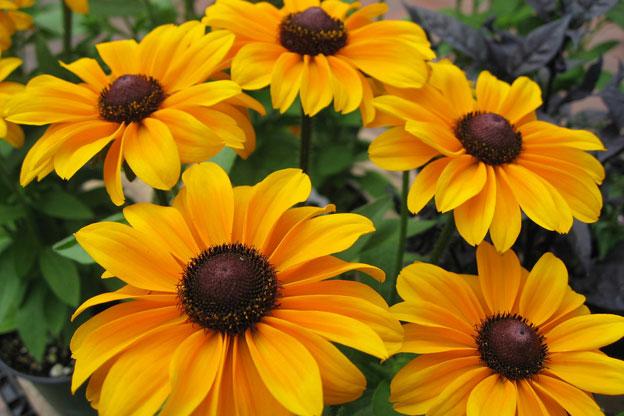 yellow oxeye daisies with dark center