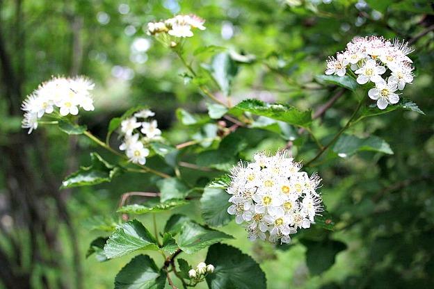 Physocarpus_opulifolius
