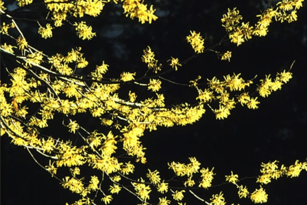 common witch hazel
