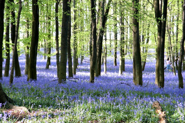 bluebell drifts