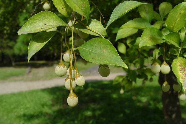 Japanese Snowbell Tree Focus On Flowers Indiana Public Media