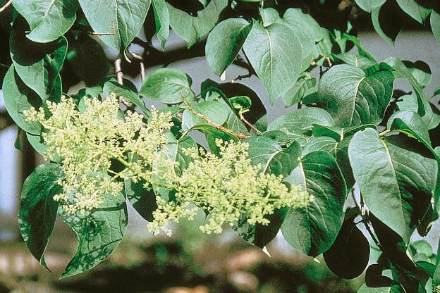 japanese tree lilac