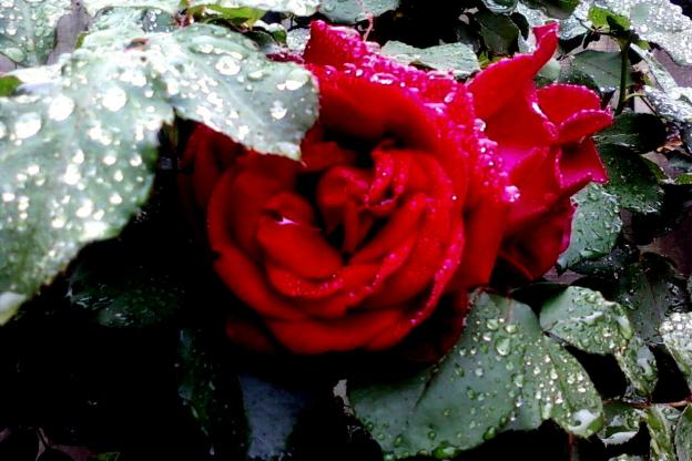 roses in the rain