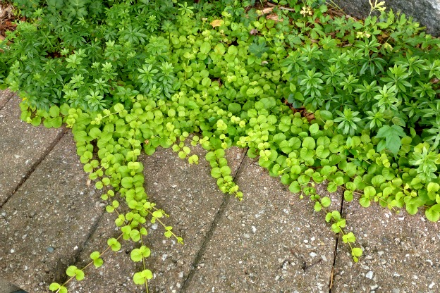 carpeting plants Sedum
