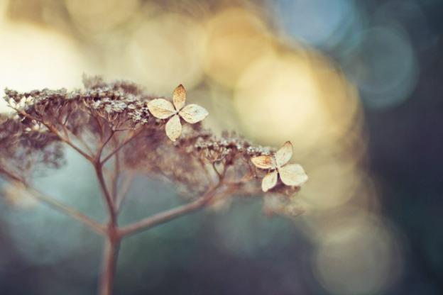 hydrangea in winter.