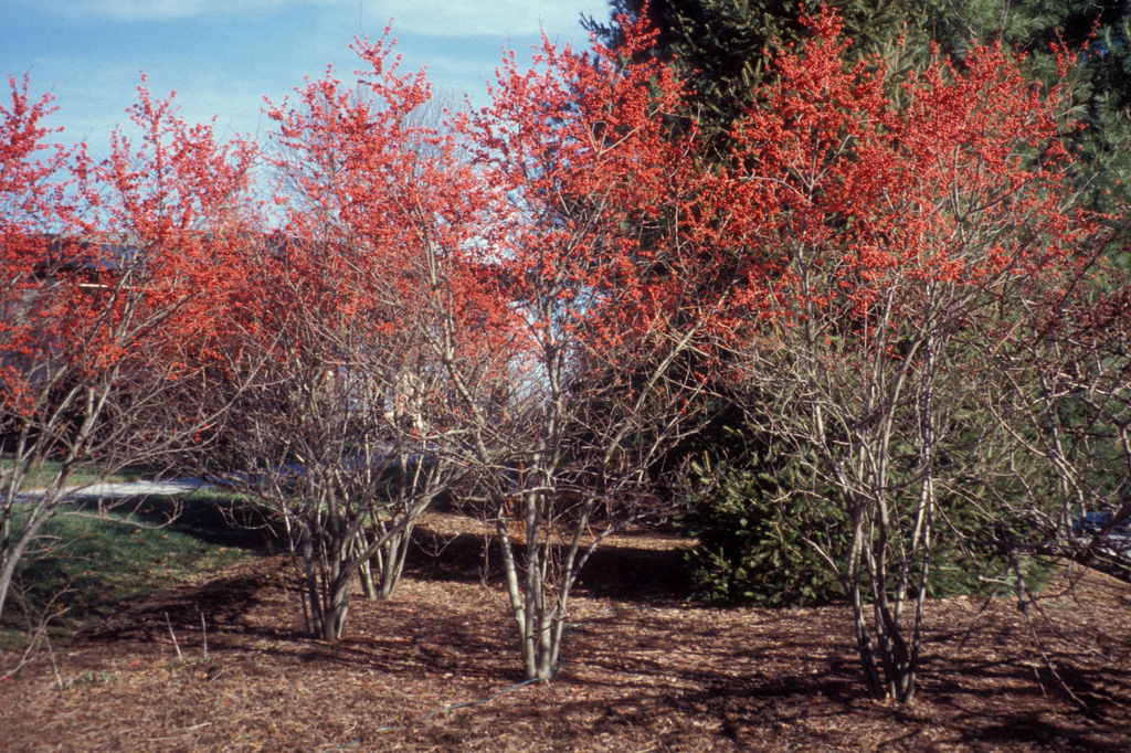 Winterberry (Ilex verticillata) is one example of a fruiting shrubs that can add fall and winter interest, as well as provide food for the birds (Richard Webb/Wikimedia Commons).