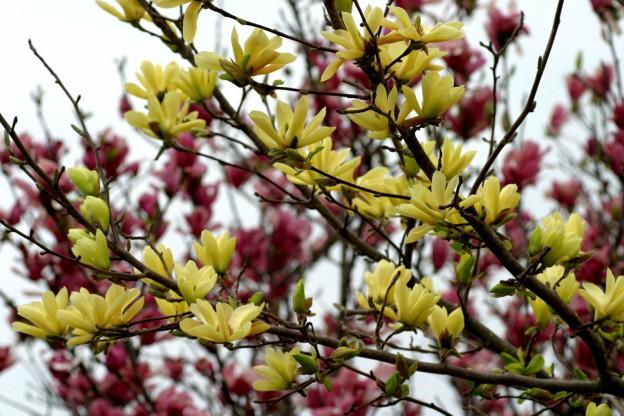 magnolia genus