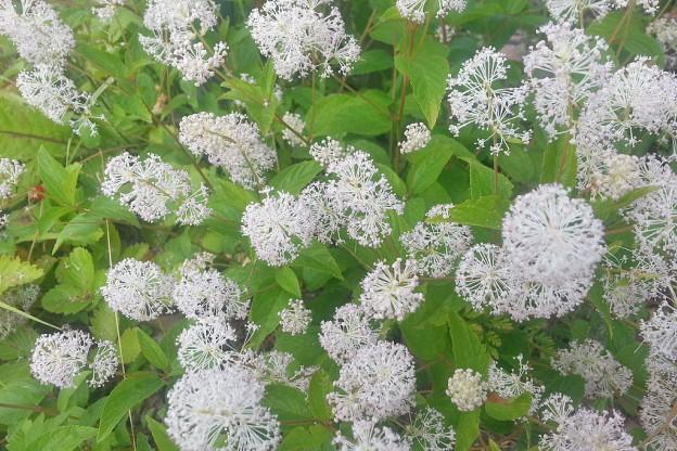 native shrub