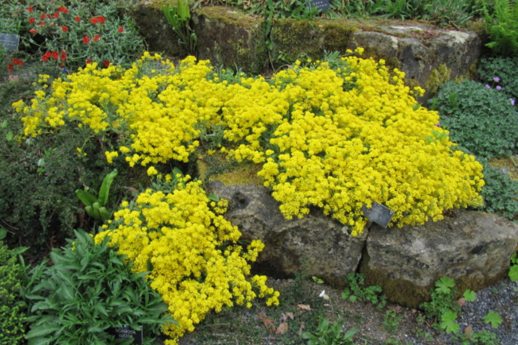 Alyssum saxatile (Aurinia saxatilis) is commonly known as Gold Dust. It is an evergreen, mound-forming perennial with felty, grey-green leaves. Dense panicles of bright yellow flowers smother the entire plant from late spring into early summer (Leonora (Ellie) Enking/flickr).