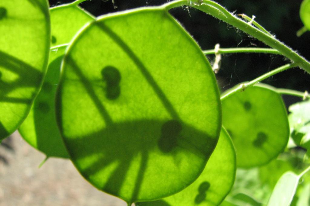 Money plant (Glenn Fleishman/flickr).