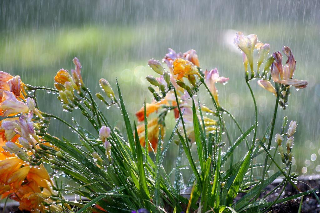 Freesia in the rain (John-Morgan/Wikimedia Commons).