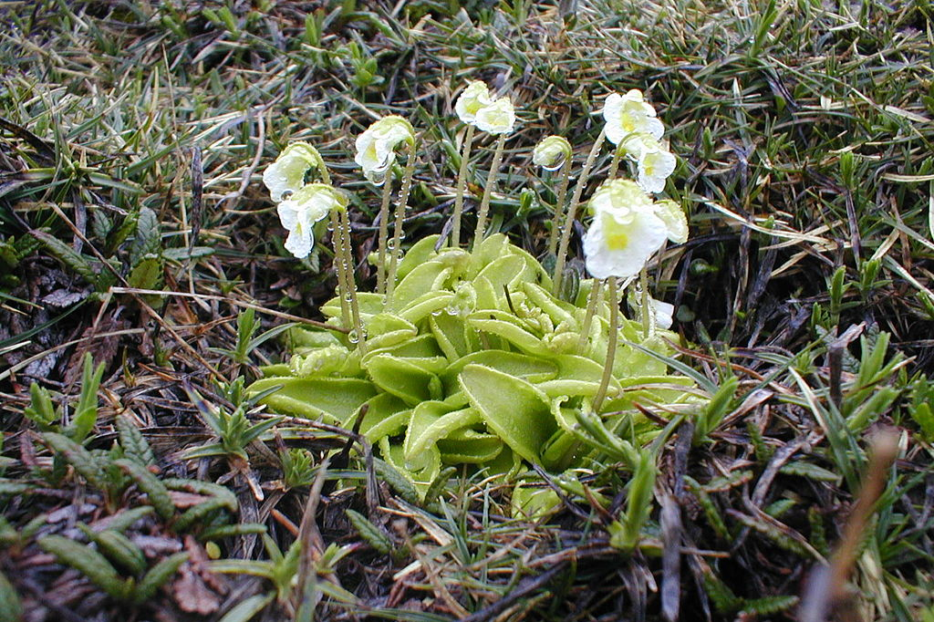 Butterworts can be found over half the planet. This is a European alpine butterwort, Pinguicula alpine, photographed in Slovenia (Filip Dominec/Wikimedia Commons).
