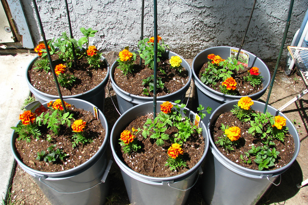Planting marigolds around tomato plants can help to repel various pests. (Taifighta/flickr)