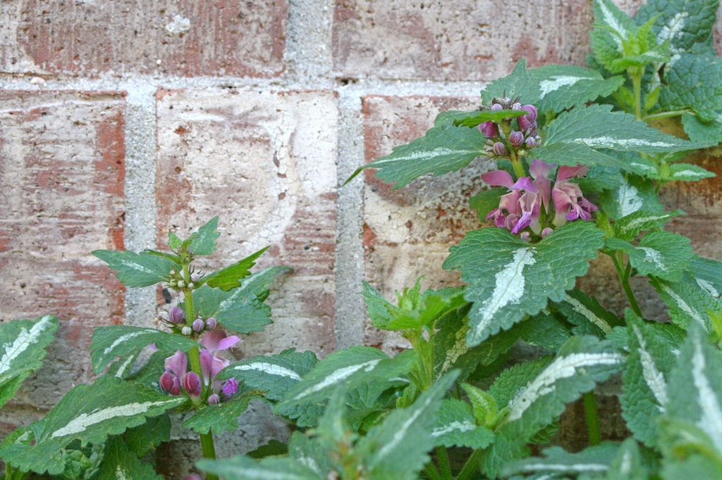 Spotted Dead Nettle, Lamium maculatum 'Chequers' (Patrick Standish, Flickr).