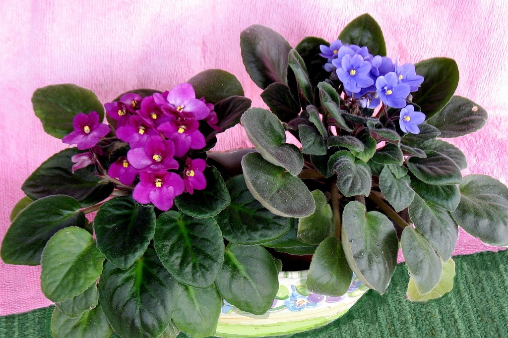 African violets blooming (PINKÉ, Flickr).