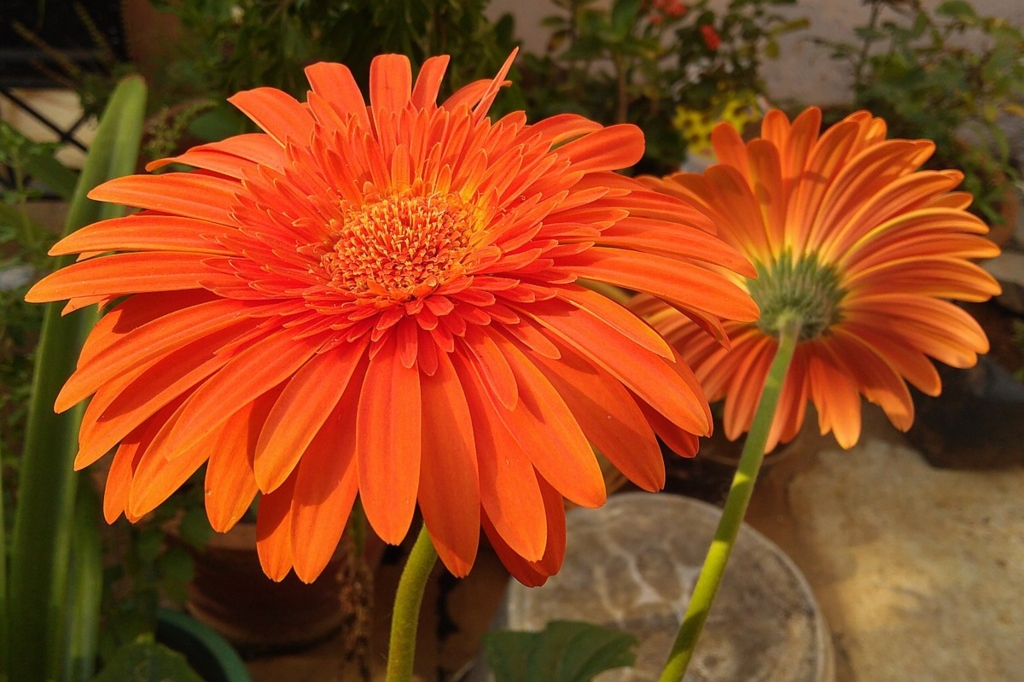 Potted gerbera daisies can combat indoor pollutants like benzene (SKsiddharthan, Wikipedia).