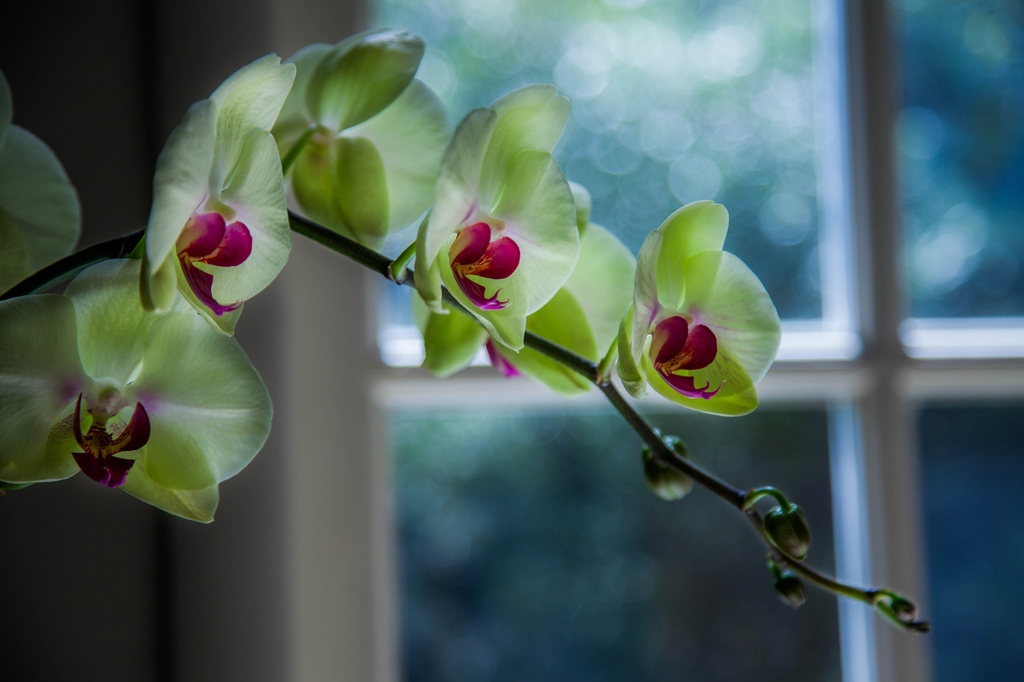 Orchid by the window (Sonny Abesamis, Flickr).