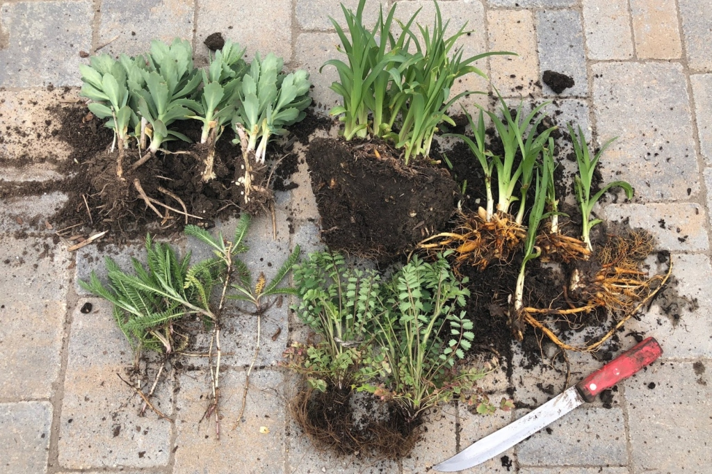 Starting from the top and going clockwise: Daylilies, whole and divided.  A fibrous-root plant, cut in half.  Yarrow just pulled apart.  Sedum pulled and cut as needed. (Pat Tormey, Colorado Mountain Gardeners blog)