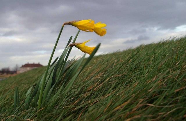 Daffodils, sighing.