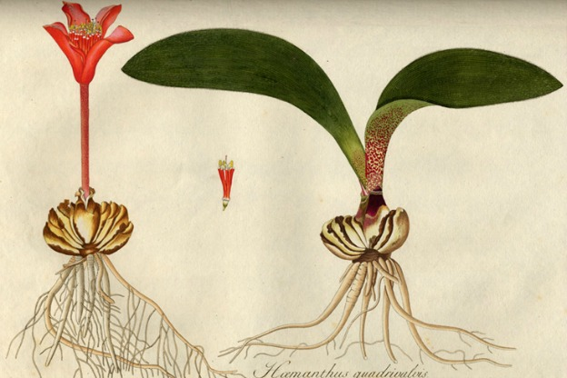 Illustration from botanist and amateur musician Nikolaus Jacquin's 1797-1798 publication.