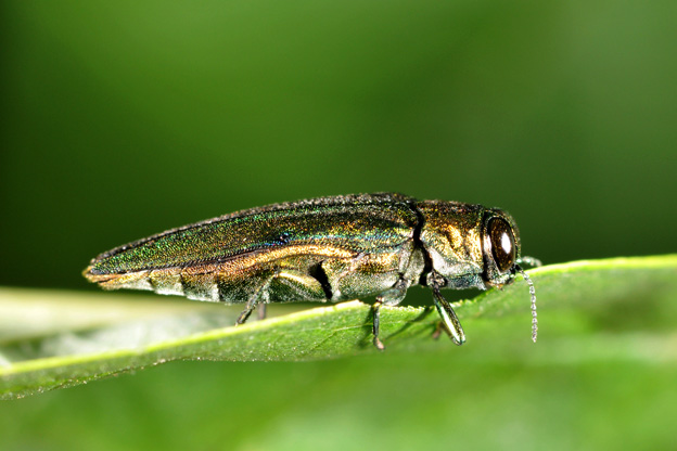 An adult emerald ash borer feeds off a leaf.