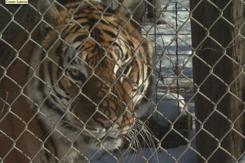 The tiger was not put down because the attack only happened because keeper Marissa Dub mistakenly left the gate open