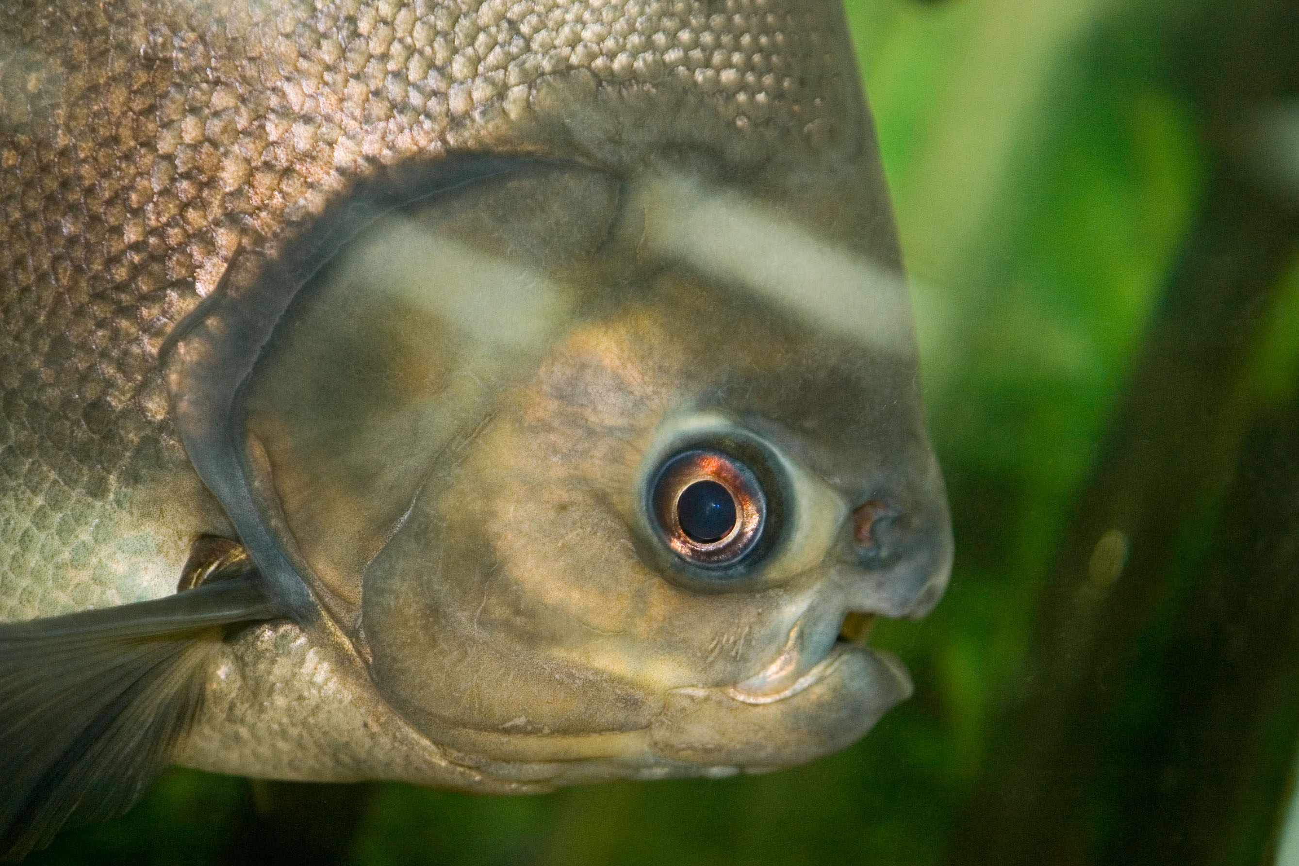 The Pacu is native to South American, and is closely related to the piranha.