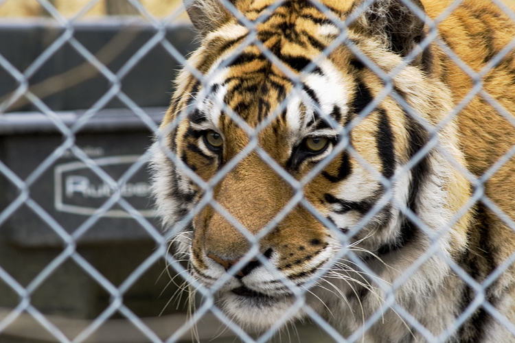 A tiger peers through a fence.