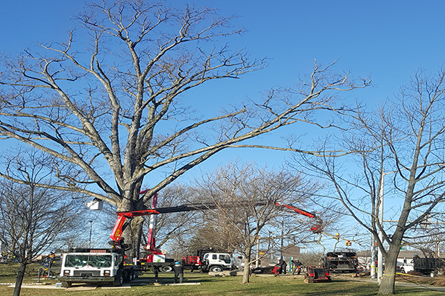 Local crews worked Thursday to remove a 105 foot tall tree in Seminary Park.
