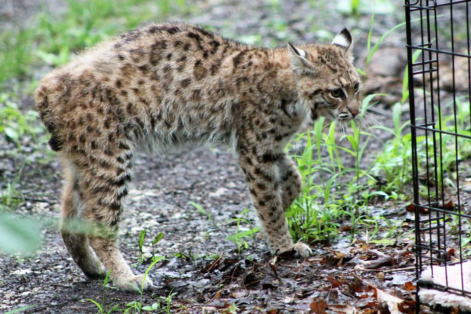 From WildCare: The female bobcat is obviously a little nervous as she exits the crate, walking backwards to keep her eye on us as she leaves.