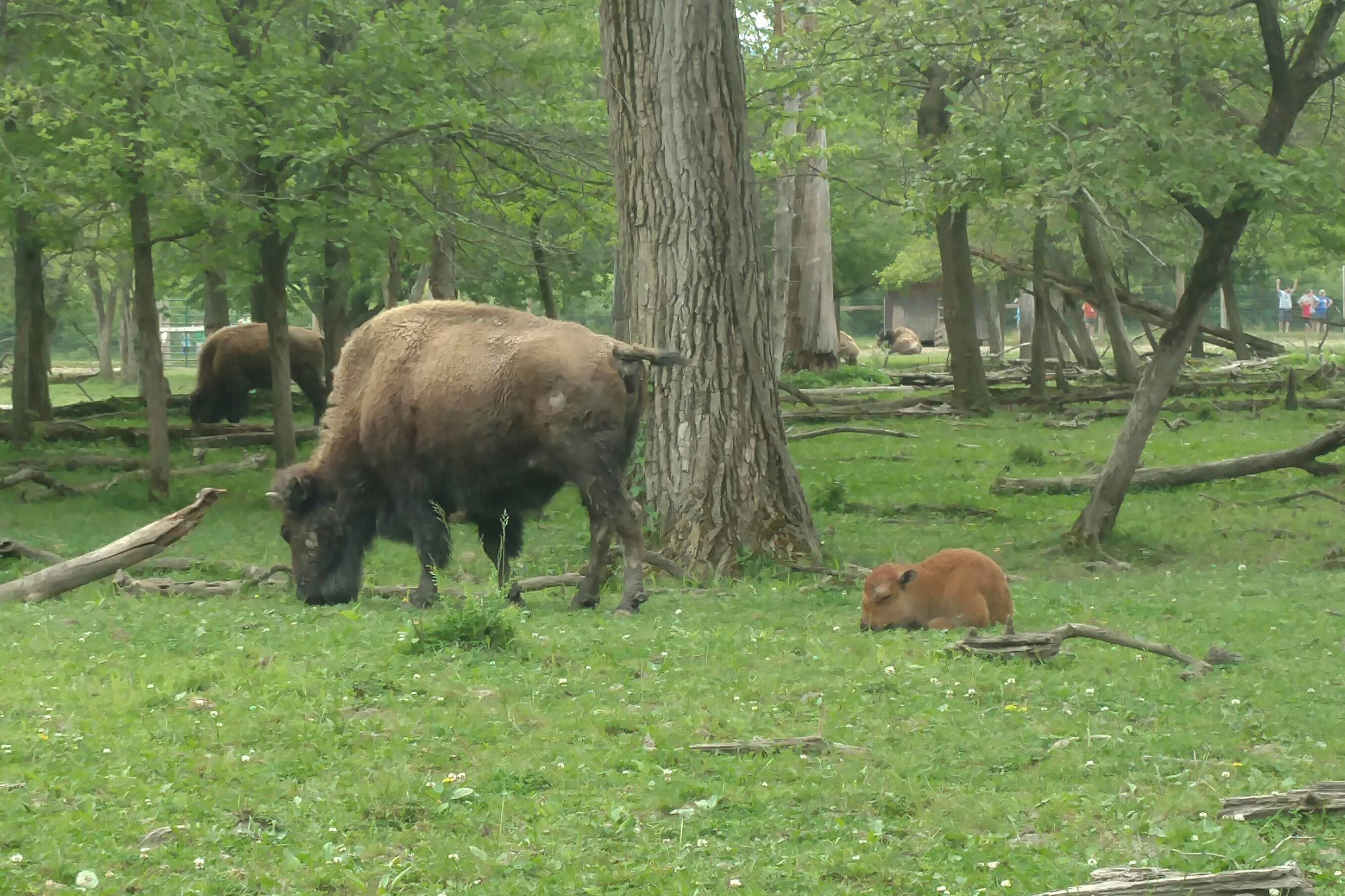 The park naturalists allowed our group to see the bison up close at the feeding station.
