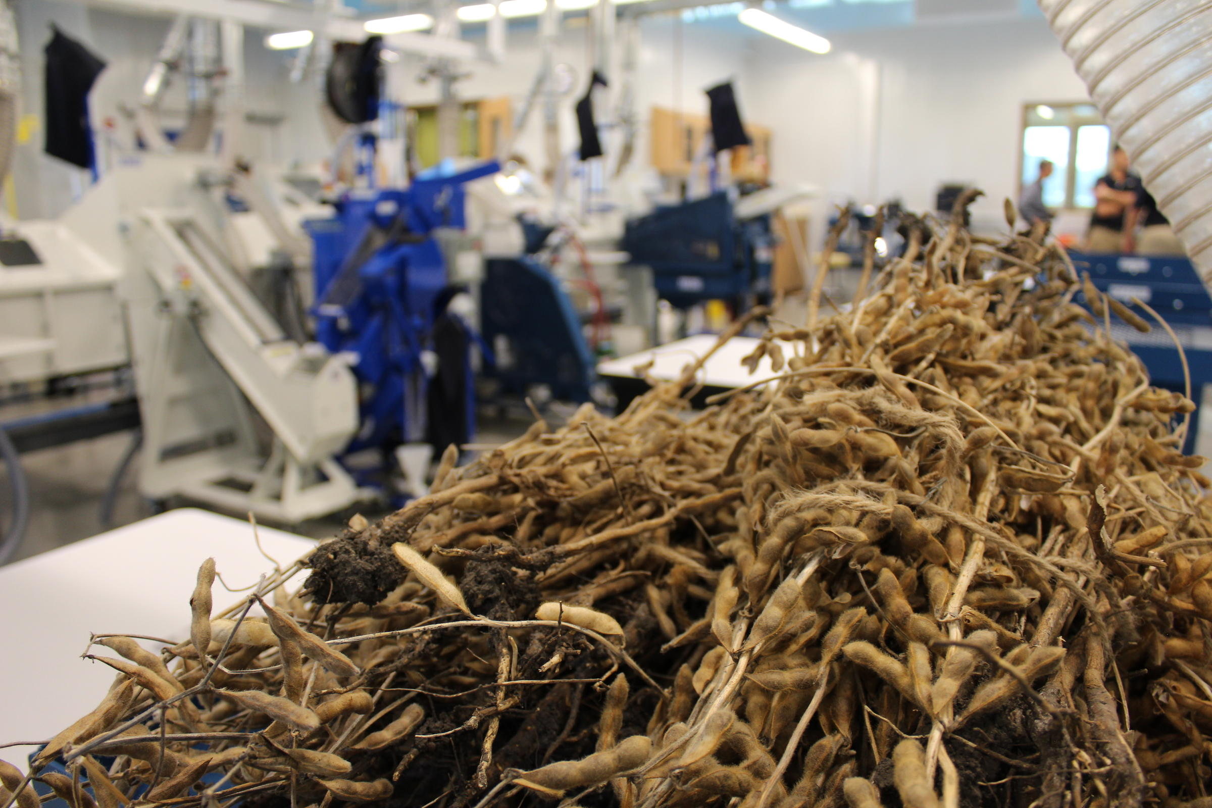 Soybeans wait for threshing at the new Innovation center.