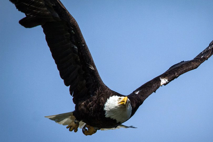 The number of bald eagles has been growing since the pesticide DDT was banned in the U.S., but their recovery has been slowed by flame retardants and other pollutants. (photo: Indiana DNR)