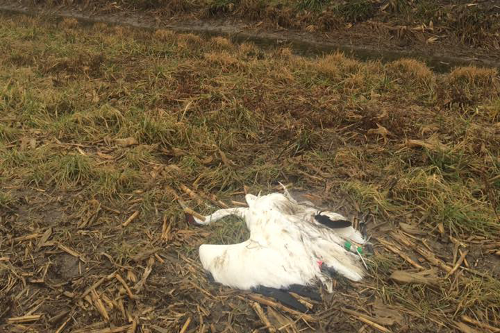 Authorities say the endangered Whooping Crane was shot and killed in early January.