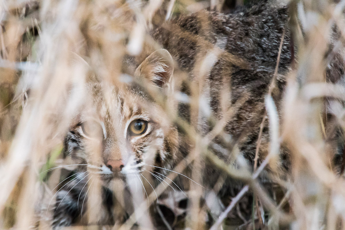 A bobcat hiding in the bushes.