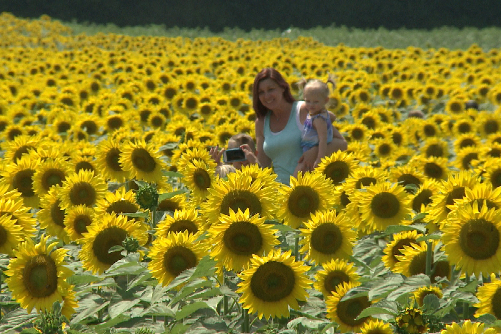 Family Farm's Sunflower Maze Attracts Thousands Of ...