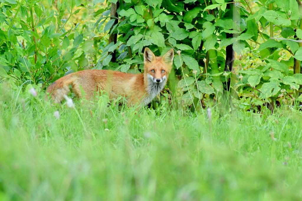 Red fox. (Lindasay / Pixabay)